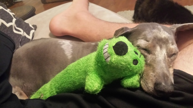 Cobalt mini dachshund loves toys especially his green long dog