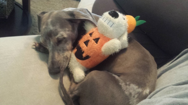 Cobalt mini dachshund loves toys especially his pumpkin long dog